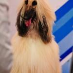 Выставка собак Россия 2012 афганская борзая