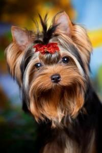 Собаки для аллергиков йоркширский терьер аллергия на собак