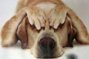 Собака боится петард салюта громких звуков