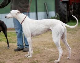 Грейхаунд Greyhound описание породы английская борзая бега грейхаундов
