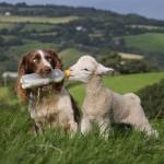 Собака Спрингер спаниель Джесс кормит ягнят молоком