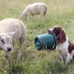 Собака Спрингер спаниель Джесс кормит ягнят