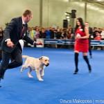 Выставка собак Евразия 2013 бест лабрадор