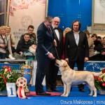 Выставка собак Евразия 2013 бест лабрадор Etu Asto Mondoro