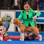 Выставка собак Евразия 2013 бест бигль