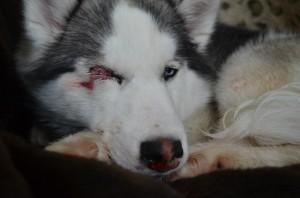 Хаски, пострадавшая от рук живодера из Конаково