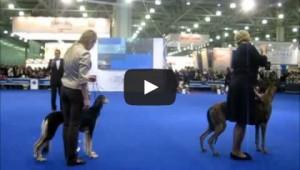 Выставка собак Евразия 2013 видео бестов